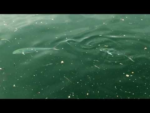鹿児島市の風景|いおワールドかごしま水族館 イルカ水路のシイラの群れを Shot on iPhone