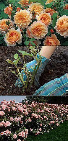 8 простых секретов выращивания роз в саду | РОЗЫ
