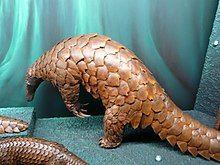 Giant pangolin - Wikipedia