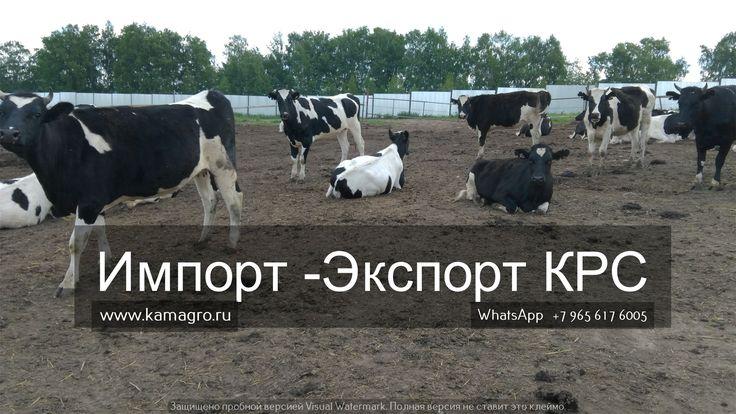 Купить КРС можно у нас!!! Оптовые поставки крупно рогатого скота! http://kamagro.ru/  Наши контакты ООО КамАгро - поставщик КРС по РФ и СНГ :  -Сайт : www.kamagro.ru  -WhatsApp :  +7 (965) 6176005 -Skype :  hfbkmm -Viber : +7 (965) 6176005 Мы занимаемся продажей  племенных пород КРС  и продажей  товарных пород КРС  живым весом ! За 5 лет было реализовано более 150 000 голов крупно рогатого скота по Россий и СНГ! С нами сотрудничают более 1500 фермеров и агрофирм. Так же у нас открыты…