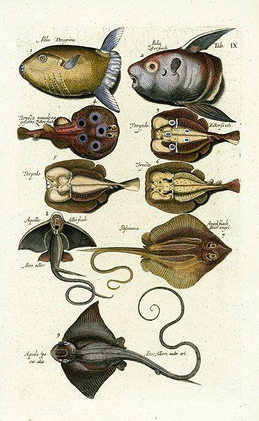 11 best johnston historiae naturalis images on pinterest for Opah fish price