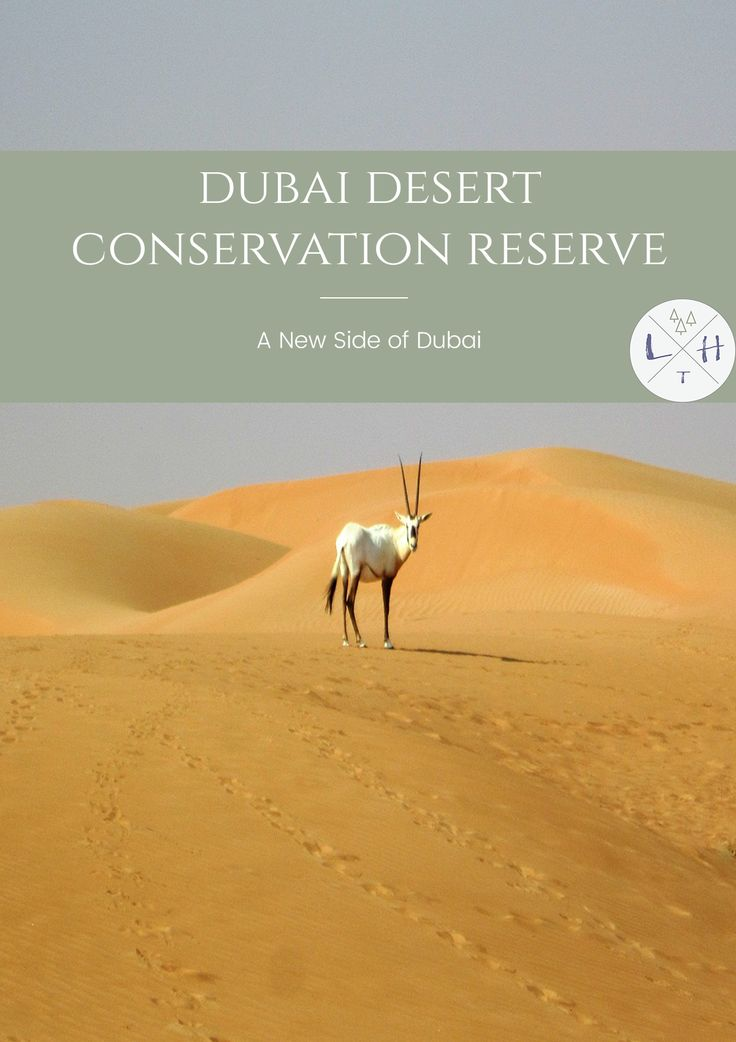 Wildlife drives, camel treks, breakfast in the company of falcons. Those are just few of many attractions waiting for you in Dubai Desert Conservation Reserve.   via @lavenderhytta