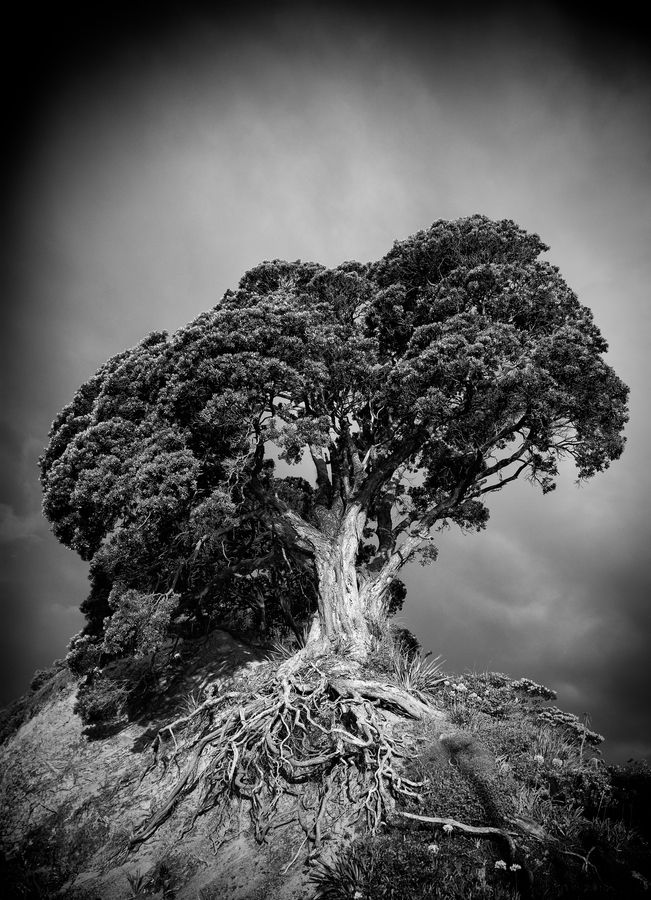 Lonely tree shot at sunset with sun shining fully on this majestic Pohutakawa Tree, NZ by Dean Mullin