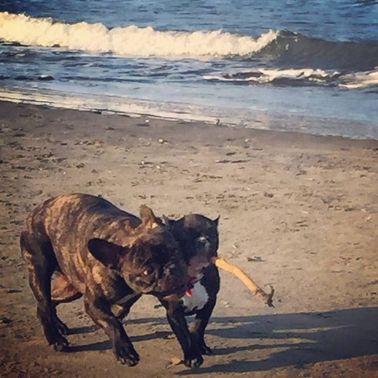 My best friends Agatha &Lila @sussan84 #cartagenadeindias #beach #frenchie  #bulldog #petrun #dog #pet #sisters #love #amoresperros #colombia