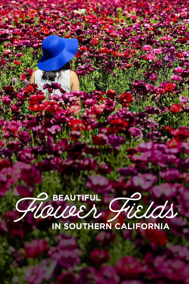 11 Beautiful Southern California Flower Fields You Must Visit this Spring ( #socal #springflowers #flowerfields #california #wildflowers ) // Local Adventurer