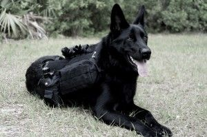 German Shep With Tactical Gear