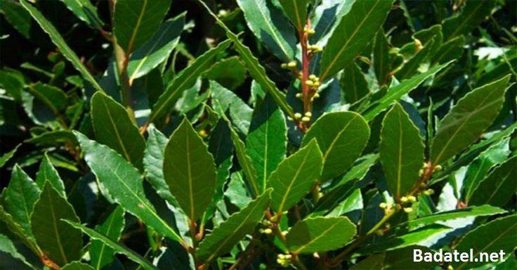 Trápia vás kŕčové žily, bolesti kĺbov, problémy s pamäťou, či bolesti hlavy? Pripravte si olej z tejto rastlinky, ktorú určite máme doma.