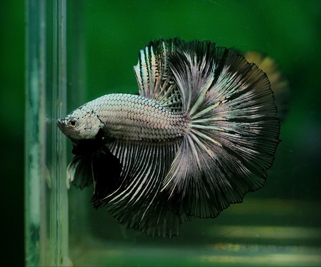 10 images about bettas bonita on pinterest betta tank for Buy betta fish