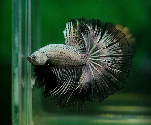 Black dragon | Betta (Fighting fish) | Pinterest