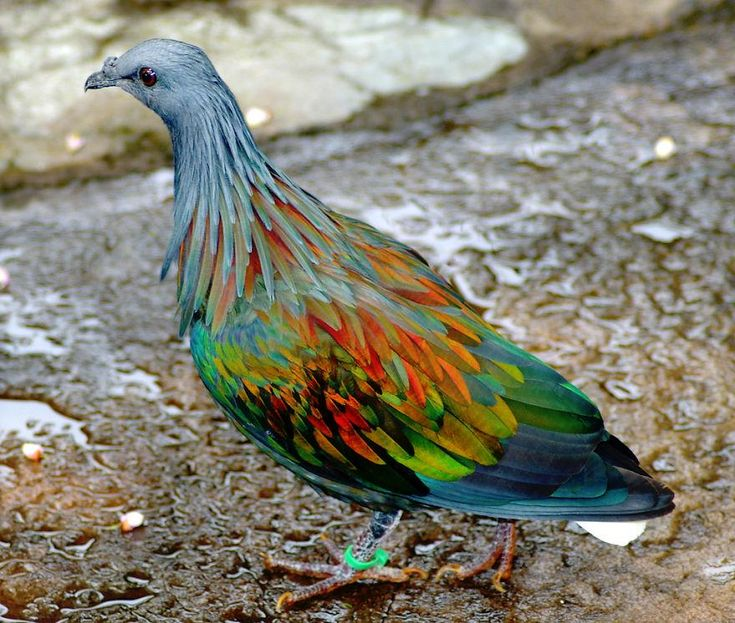 Paloma nicobar. - Aunque no lo creas, esta es una paloma pero muy colorida.
