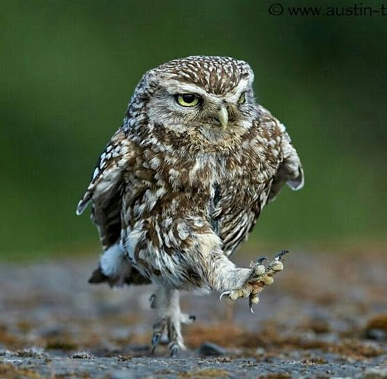 Don't Try To Stop Me..... #owl