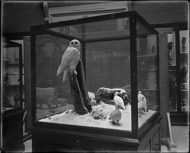 Snowy Owl, Willow ptarmigan, Arctic Fox | Flickr - Photo Sharing!
