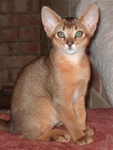 Abyssinians cats make good family pets but tend to bond with Adults and older children rather than young toddlers. Abyssinians are not vocal, having a small bell like voice to communicate. They prefer and seek higher places to sit such as backs of chairs, refrigerators and scratching poles.