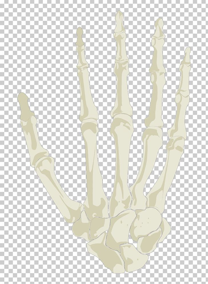 Finger Human Skeleton Hand Png Clipart Anatomi Anatomy Arm Autocad Dxf Computer Icons Free Png Download Human Skeleton Skeleton Hands Png