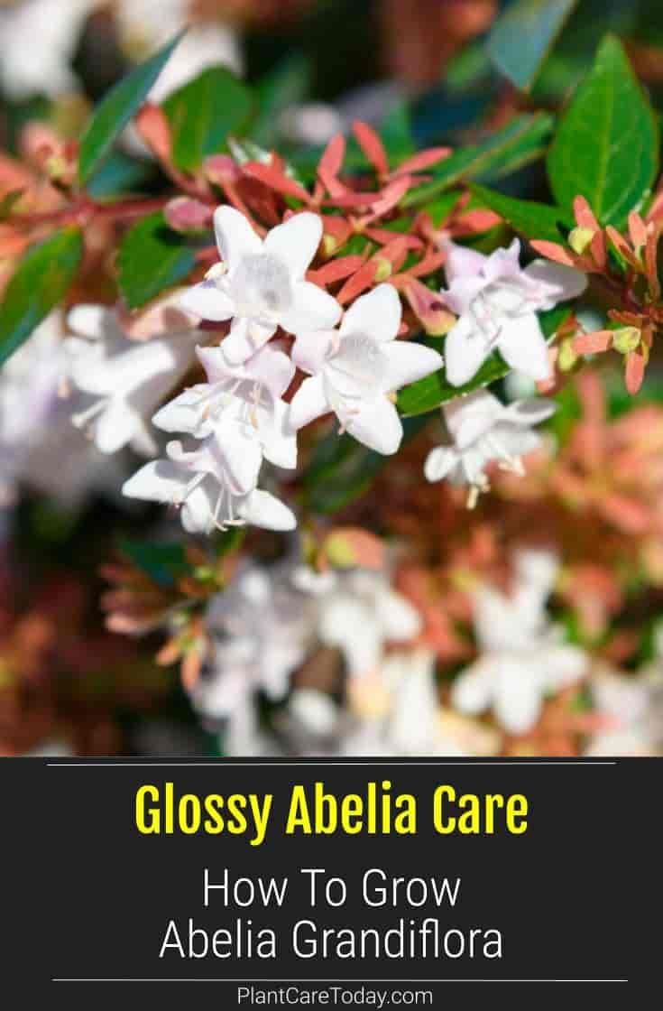 Glossy Abelia 4 6 Tall 3 5 Wide Semi Evergreen Blooms In