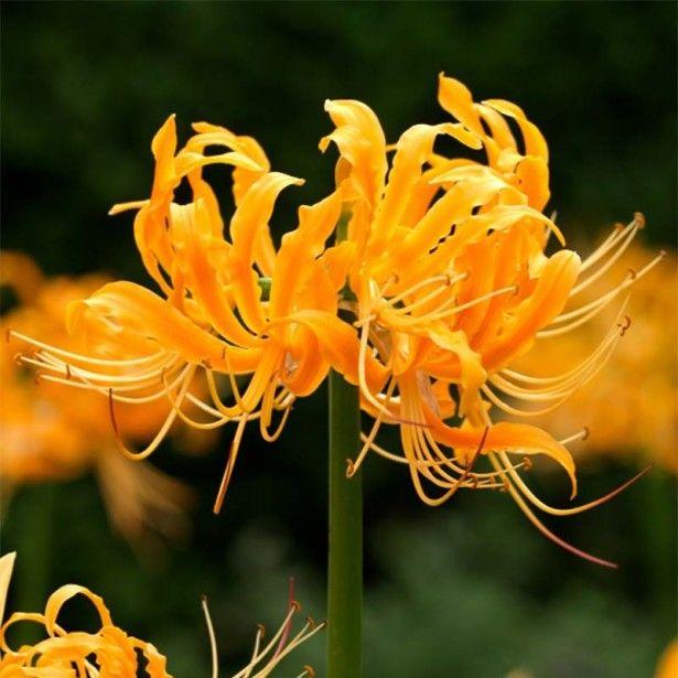Lycoris aurea - Lis araignée jaune.