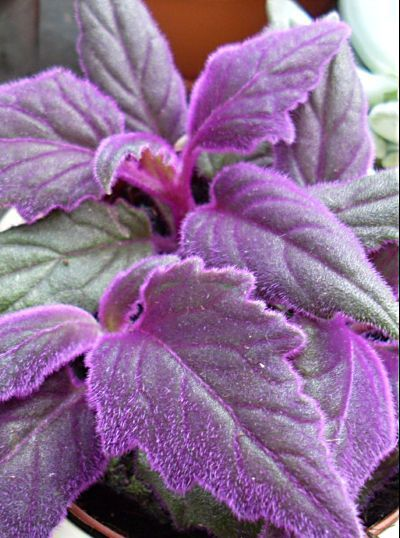 Room Plants Purple Velvet Plant, Royal Velvet Plant Gynura Aurantiaca  Herbaceous Plant   Photos, Directory And Search Engine For Decorative  Garden Flowers ...