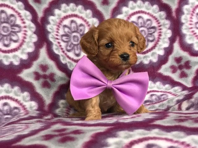 Cavapoo Puppy For Sale In East Earl Pa Adn 68094 On Puppyfinder