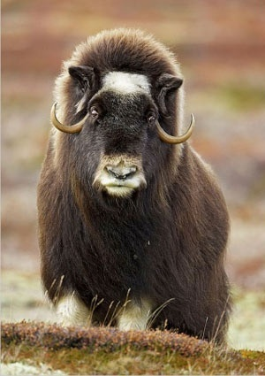 Both sexes of muskox have long, curved horns. Muskoxen stand 4 to 5 ft. high at the shoulder, with females measuring 4.4 to 6.6 ft. in length, and the larger males 6.6 to 8.2 ft. The small tail, often concealed under a layer of fur, measures only 3.9 inches long. Adults, on average, weigh 630 lbs. and range from 400 to 900 lbs. Their life expectancy is 12–20 years.