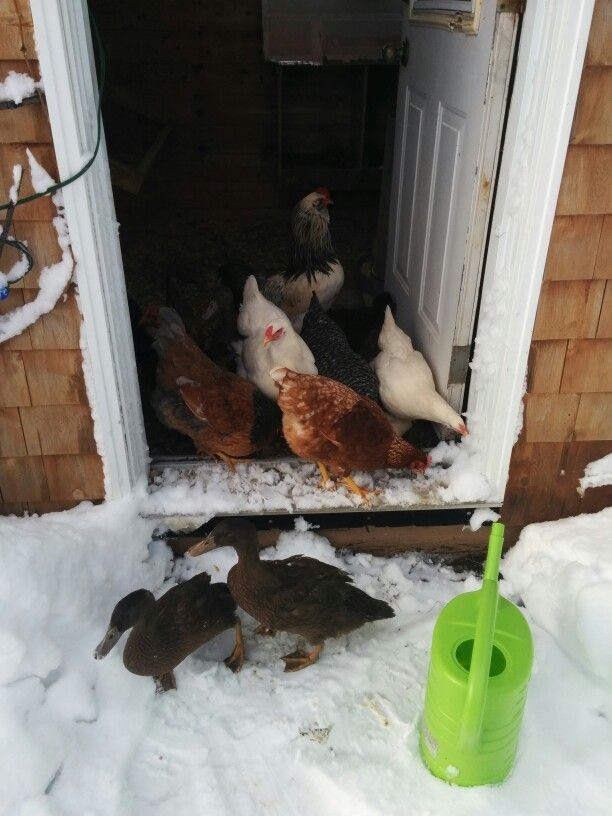 Backyard poultry snacking on snow ;)