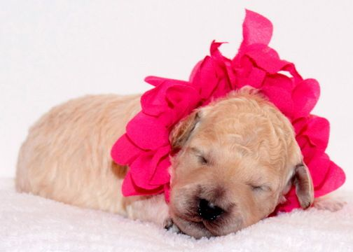 Litter of 5 Australian Labradoodle puppies for Sale in FRISCO, TX. ADN-27298 on PuppyFinder.com Gender: Female. Age: 1 Week Old