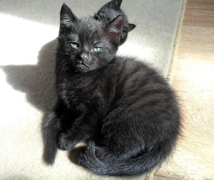 black smoke cats rare | Rare Black Smoke Ghost Tabby Kittens.  I have one of these cats!  Very odd looking kitty, but looks just like this one