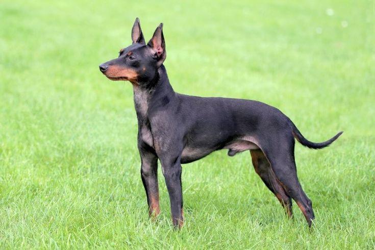 Dekoratív fajtájú kutyák: egy nagy lista a háziállatok és azok jellemzői (+ fotók) Angol (black and tan) játék terrier