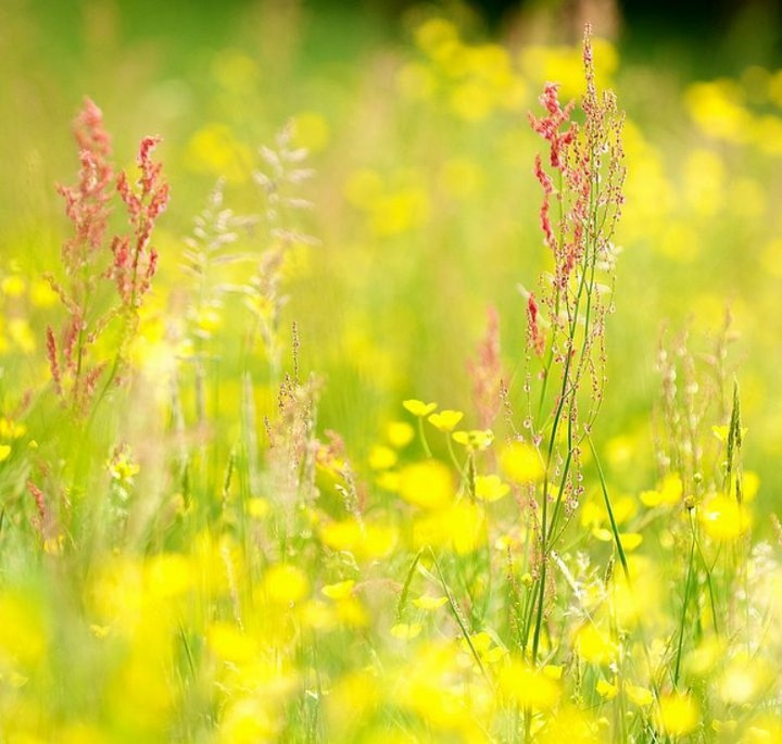 MeadowCanary Yellow, Country Living, Country Meadow, Beautiful Plants, Colors Yellow, 花 Flowers Pretty Beautiful, Meadow Fairies, Nature'S Beautiful, Fairies Tales