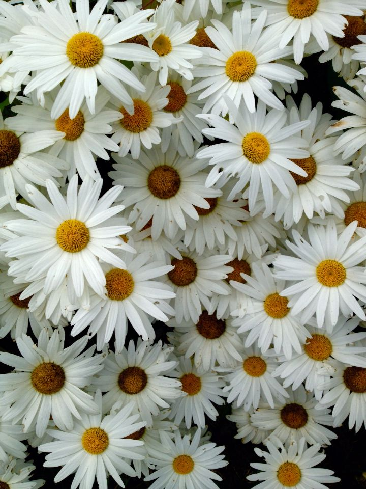 Daisies photographed by Adrian Glasgow with iPhone 4s