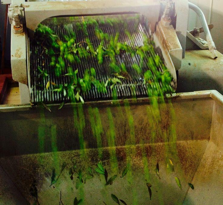 Le olive pronte per la spremitura dopo il lavaggio