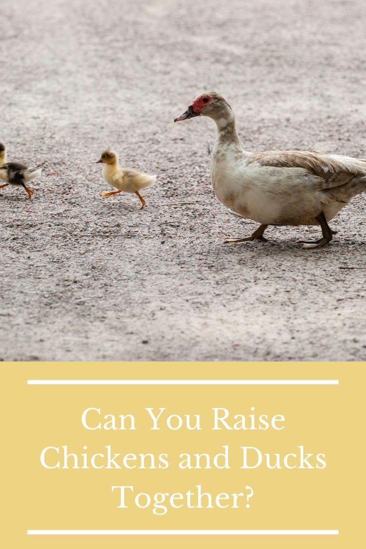 Can You Raise Different Types of Chickens in the Same Flock?  – Raised Bed Gardening