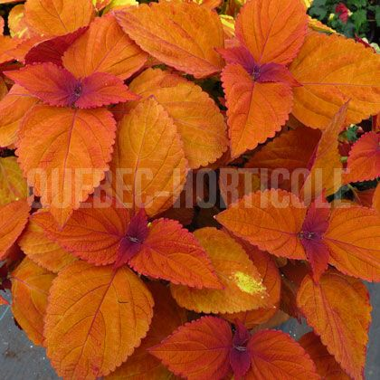 image de Plectranthus ColorBlaze® Sedona