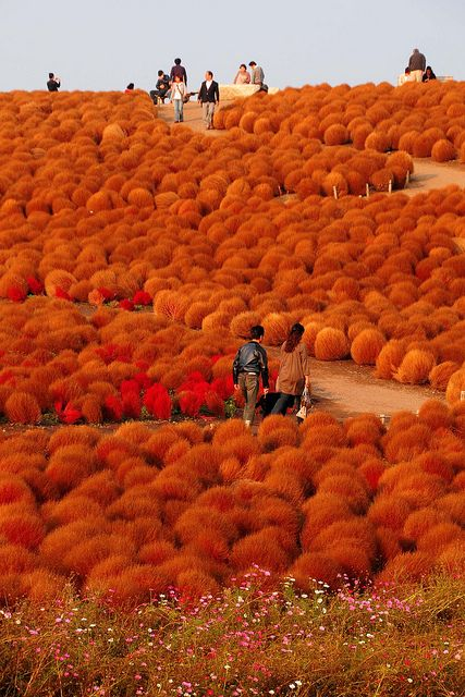 Hitachi Seaside Park, Ibaraki. UNREAL!!Orange, Hot Chocolate, Osaka Japan, Seaside Parks, Hitachi Seaside, Places, Amazing Nature, Truffula Trees, Japan Travel