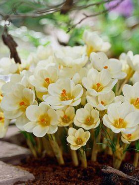 Crocus Cream Beauty