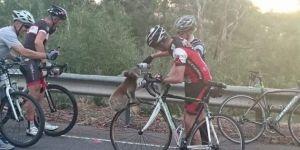 El koala que detuvo a un grupo de ciclistas para pedirles agua - Omicrono