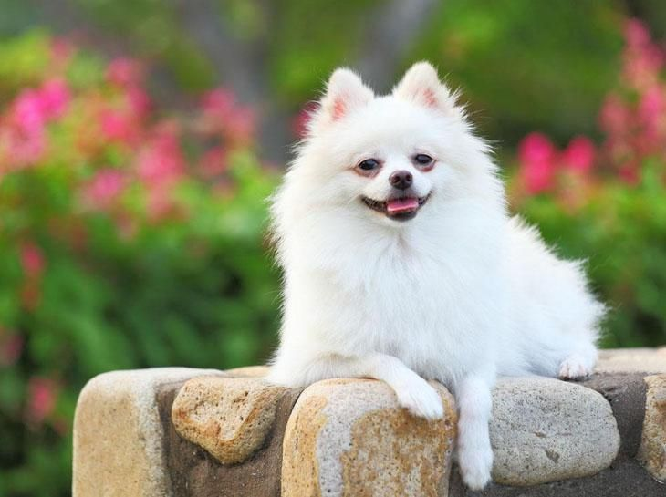 An interesting naming idea for dogs is to name them after something having to do with their coloration. For this pup the Pomeranian names of Snowy, Pearl or Sugar might make for some clever naming ideas. Here's more for this breed... http://www.dog-names-and-more.com/pomeranian-names.html