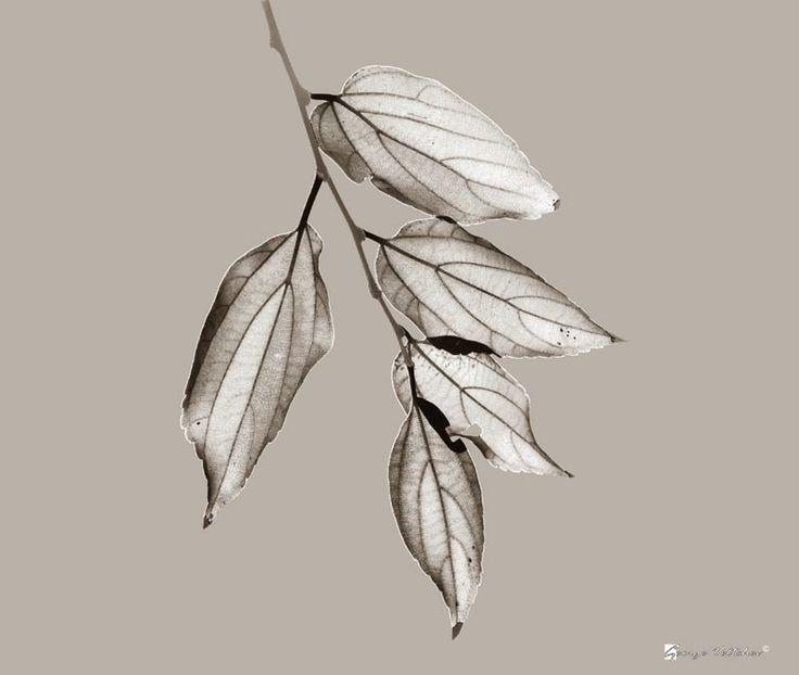 Leaves in sepia