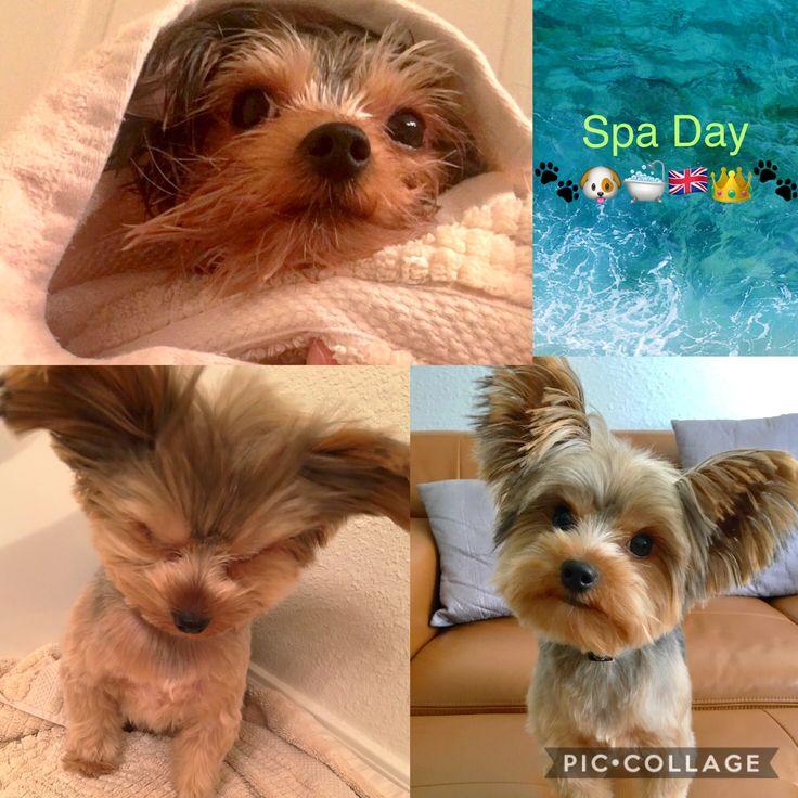 Duke of Yorkie - bath time Puppy Spa Day