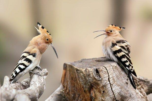 الهدهد او طير سيدنا سليمان كل ماتود معرفته عن هذا الطائر طيور العرب Beautiful Flowers Art Beautiful