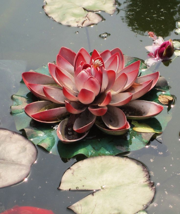 """i love the lotus because while growing from mud, it is unstained."" —confucian scholar, Zhou Dunyi"