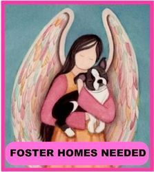 FOSTER HOMES NEEDED is an adoptable Boston Terrier Dog in North Augusta, SC. The BOSTON TERRIER RESCUE of SC� is a 501 (c)(3) organization dedicated to saving one of Americas favorite breeds. �� We ar...