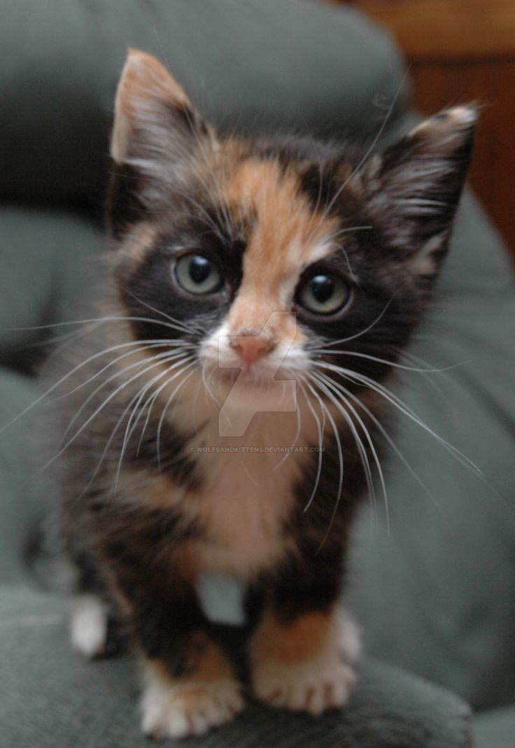 Black Calico Cats Kittens