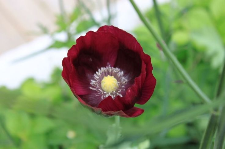 Flower. Papaver, Laurens Grape. Beutiful flower that brought drama to the flowerbed.