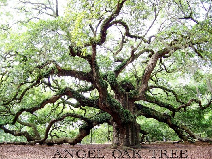 Angel Oak Tree, James Island, SC...actually though, it's on Johns Island.
