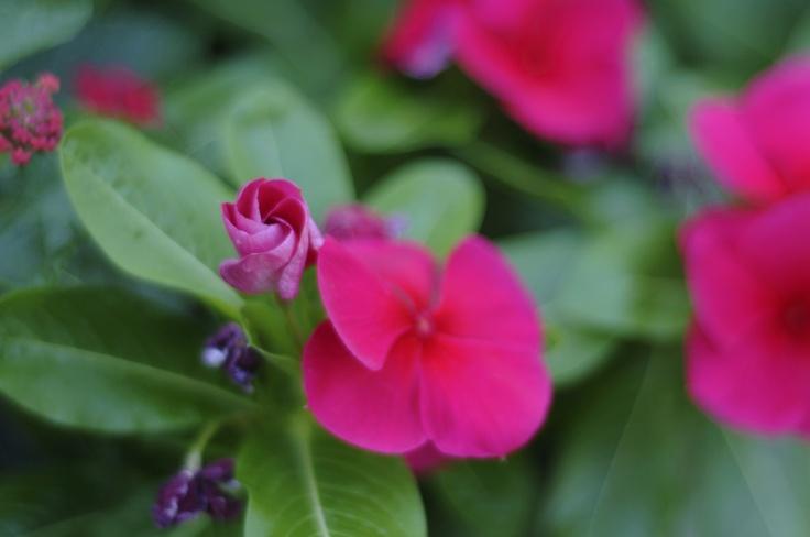 Pink/Magenta flowers!Pinkmagenta Flower, Pink Magenta Flower