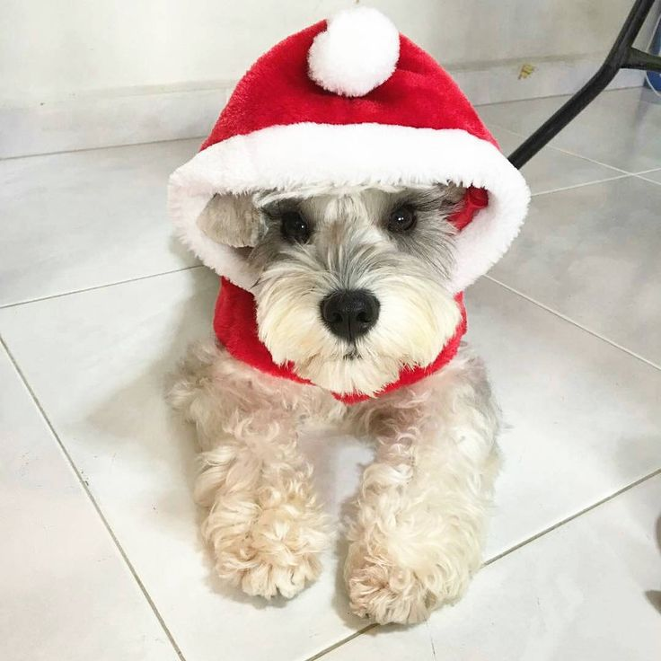 See this Instagram photo by @schnauzerworld • 3,923 likes