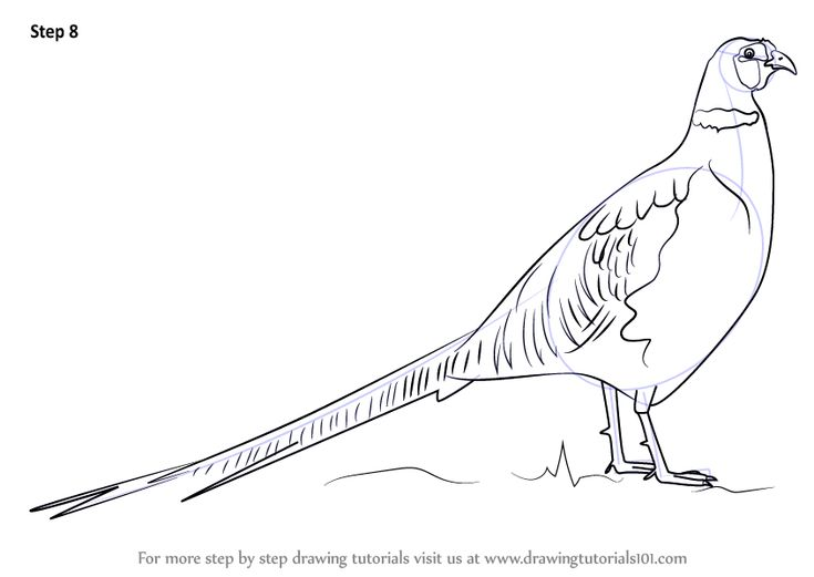 Learn How to Draw a Common pheasant` (Birds) Step by Step