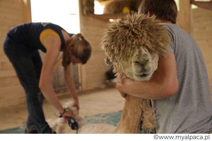 Alpaki strzyżemy raz w roku w maju. Nasza fryzjerka uwielbia bawić się w stylizowanie  alpaczych grzywek :)