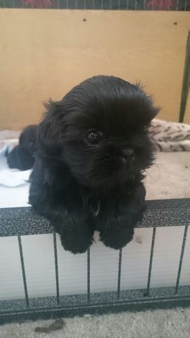 SOLID BLACK IMPERIA KC REG SHIH TZU PUPPY FOR SALE | Milton Keynes, Buckinghamshire | Pets4Homes