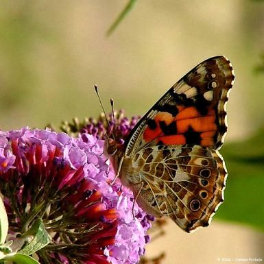 Painted Lady adult. - Photo: © Flickr user jpockele (CC license)